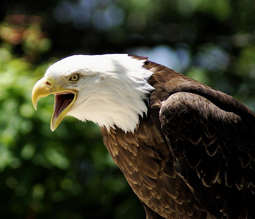 """If You're Not Outraged...You're Not Paying Attention!"" -- mountain grandfather baldeagle you outraged attention paying"