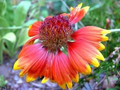 falling apart (greeneydmantis) Tags: orange macro yellow petals pieces purple cone blueribbonwinner