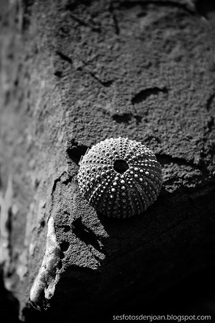 Ampliar Paracentrotus lividus
