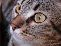 the eyes of the tiger (angy84) Tags: eye cat ojo eyes oeil yeux explore occhi ojos gata minnie augen auge occhio strega gatta angy84 angelastelli