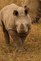 Hello Sweet Lips !! (Picture Taker 2) Tags: africa baby cute nature beautiful closeup children outdoors colorful babies native wildlife mothers rhino curious wilderness plains upclose mammals exciting newlife wildanimals animalbabies babyanimals lakenakuru rhinoceroses africaanimals
