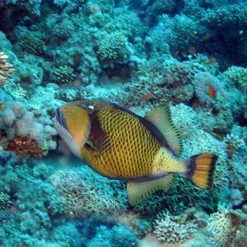 Triggerfish #3