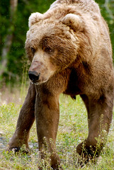 yo teddy (unfocused mike) Tags: bear alaska buzz honey flies huge grizzly predator powerful kodiak colbert carnivore brownbear naturesfinest omnivore kodiakbrownbear godlesskillingmachine anawesomeshot naturewatcher