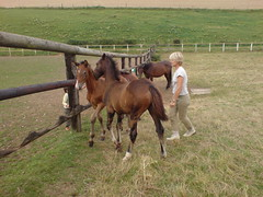 DSC00107 (jacaranda4) Tags: horse cheval mare du concours colt stallion francais chevaux filly selle foal cso poulain dressage jument coty complet elevage
