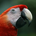 Scarlet Macaw, Lookout Inn, Carate - 10