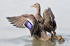 Proud Mama Mallard (NaturalLight) Tags: park detail creek feather ducklings mama kansas mallard wichita chisholm chisholmcreekpark