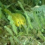 IMG_5414Lre Planehead Filefish (Stephanolepis hispidus) thumbnail