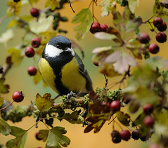 Great Tit (Parus major) (m. geven) Tags: autumn red orange green bird fall nature animal fauna groen herfst feathers natuur veer perched common rood dier oiseau greattit mees avian parusmajor hawthorn vogel oiseaux oranje avifauna redberries koolmees gelderland algemeen nld najaar veren rodebessen jaarvogel meidoorn pluim zangvogel autumnmood herfstkleur paridae kohlmeise msangecharbonnire forestbird gardenbird breedingbird passerinebird tuinvogel broedvogel standvogel holenbroeder insekteneter gemeentemontferland herfstsfeer talrijk bosvogel besdragend nederlandthenetherlandsniederlande