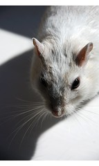 Shadow (Issy`) Tags: pet animal gerbil rodent felix pied cpagouti ashgerbil