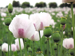 White Poppies (Bally_Hoo) Tags: hampshire poppy poppies pitt winchester poppyfield