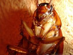 Cucaracha (DrGEN) Tags: insectos santafe argentina blog yo rosario macros gen mundo ceres veo drgen