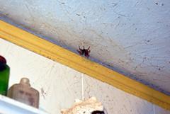 Boris the Spider (Paul McRae (Delta Niner)) Tags: pet spider web ceiling housespider 8legs boristhespider