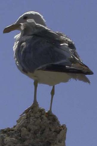mono gull detail