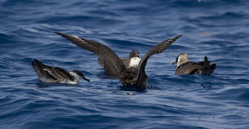 On the water with a Greater Shearwater