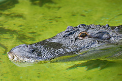 Alligator II