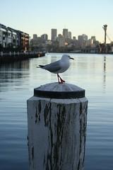 Dawn Seagull