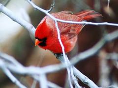 Looking Down on a Cardinal - by Creativity+ Timothy K Hamilton