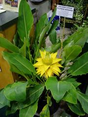Musella lasiocarpa