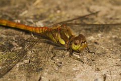 "Common Darter Dragonfly (Sympetrum s(51) • <a style=""font-size:0.8em;"" href=""http://www.flickr.com/photos/57024565@N00/1303401913/"" target=""_blank"">View on Flickr</a>"