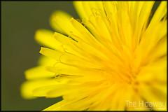 Dandelion (Simon Bone Photography) Tags: plant flower detail macro nature closeup dandelion magnified sigma105mm wwwthehidawaycouk canoneos7d