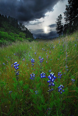 Rogue Lupines (Joshua Bury) Tags: grass clouds oregon river dark spring nikon wildflowers rogueriver lupines southernoregon roguevalley d700