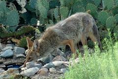 Thirsty coyote (jimsc) Tags: coyote arizona animal fauna mammal desert tucson critter wildlife canine predator kitchenwindow thirst sonorandesert windowshot