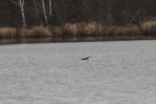 Common Loon at Smith Lake