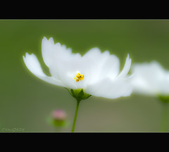 HBW (Dalang55555) Tags: white flower photoshop soft raw bokeh cosmos   hbw
