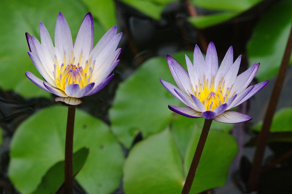 小水池裡的殘餘蓮花