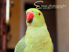 :P (eman fahad) Tags: green bird birds canon flickr parrot  professionalism