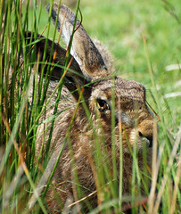 Brown Hare (Lepus capensis)