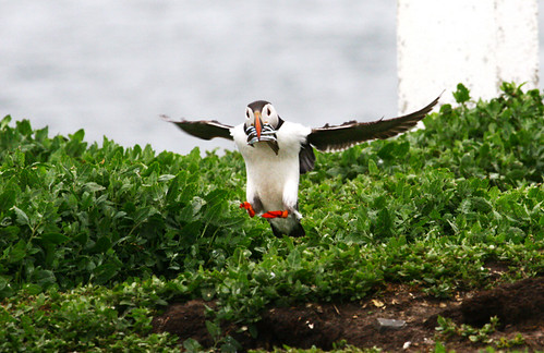 puffin incomming