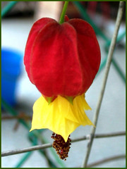 Abutilon megapotamicum (Brazilian Bellflower, Trailing Abutilon, Chinese Lantern, Flowering Maple)
