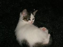 Kaylee (Mandy Verburg) Tags: pet animal female cat kitten kat feline pussy kitty ek huisdier dier pussycat poes kaylee katachtige cyper thebiggestgroup mandyarjan