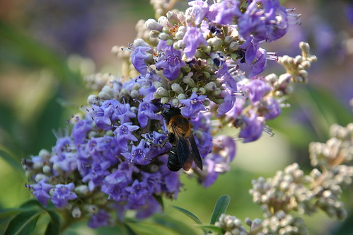 Bee on Buddleia, Pier 44 Waterfront Garden