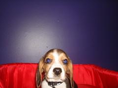DSC04538.JPG (Ander Vaz) Tags: dog cute co beagle puppy cachorro abu filhote cachorrinho