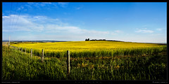 Canola Fields #2 (justpedalhard) Tags: panorama highway22x canolafields michaellogatoc