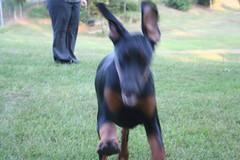 IMG_2731 (jasoneelmore) Tags: dog doberman pinscher