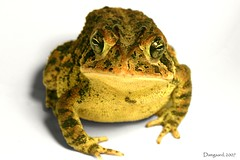 Mr. Toad* (Damgaard, (TheObsessivePhotographer.com)) Tags: green nature canon photography interestingness natural florida wildlife amphibian frog explore warts camouflage toad alienabduction goldeye i500 witebackground damgaard damgaardphotography thechallengefactory damgaardphotographycom wwwtheobsessivephotographercom theobsessivephotographer