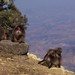 Gelada baboons living on the 'roof of Africa'