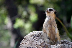 Meerkat Rock (peasap) Tags: california summer cute animals meerkat sandiego creatures wildanimalpark naturesfinest animalkingdomelite anawesomeshot aplusphoto