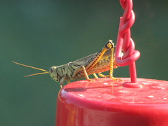 Grasshopper on feeder