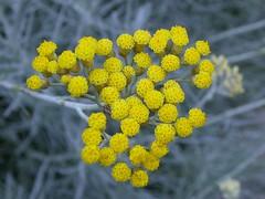 Y.e.l.l.o.w ( Graa Vargas ) Tags: flower yellow achilleamillefolium fromarchives graavargas milfolhas 2007graavargasallrightsreserved 15405301109