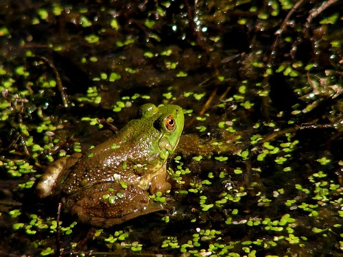 Frog at the Pond by Noël Zia Lee, on Flickr