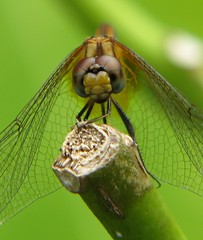 IMG_9484a (raymondbPhotos) Tags: macro nature closeup canon is bravo dragonfly s5 naturelovers naturesfinest mywinners abigfave wowiekazowie diamondclassphotographer flickrdiamond s5is buzznbugz natureoutpost theperfectphotographer