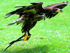 Hawk (floridapfe) Tags: bird birds zoo fly hawk soe snatch everland amazingtalent featheryfriday instantfave aplusphoto avianexcellence everlandzoo colourartaward
