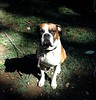 Harley07 (pixiesticks23♥) Tags: dog pet pets brown white playing black dogs animals fur fun jump boxers sweet adorable ears run boxerdog harley bark jaws boxer drool minnie growl haley snot snout tootie slobber lovable growling fawnboxer