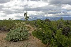 Saguaro National Park 5 (The Horned Jack Lizard) Tags: cactus cacti saguaro saguaronationalpark