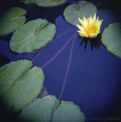 Water Lily, Longwood, 10-10,  No. 3 (squaremeals) Tags: flowers blue film water yellow waterlily diana portra longwoodgardens vc