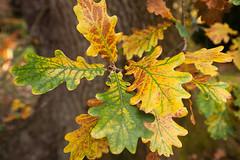 Monteviot House Gardens-20 (davidmunro) Tags: autumn leaves scotland oak monteviot